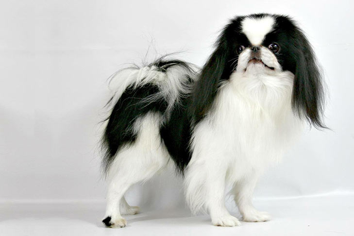 Japanese Chin standing sideways facing right, head turned forward