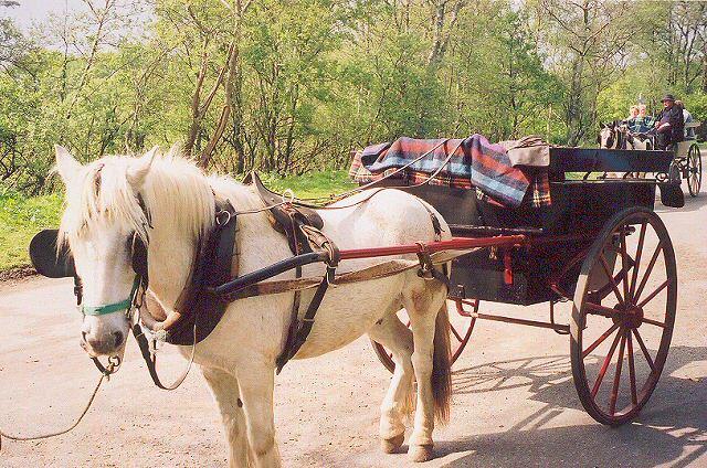 File:Jaunting Cars in Killarney National Park.jpg