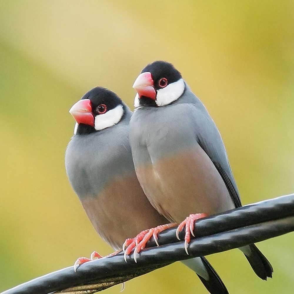 java sparrow for sale