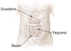 Illu small intestine español.png