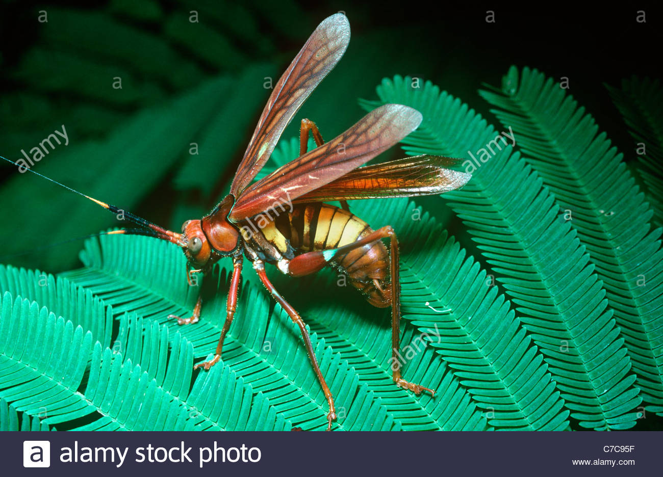 Bush-cricket / katydid (Scaphura sp.) which when alarmed raises its wings