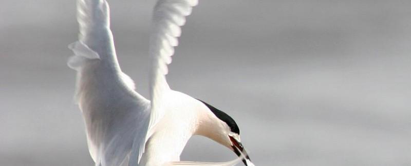 Tag: kahawai bird