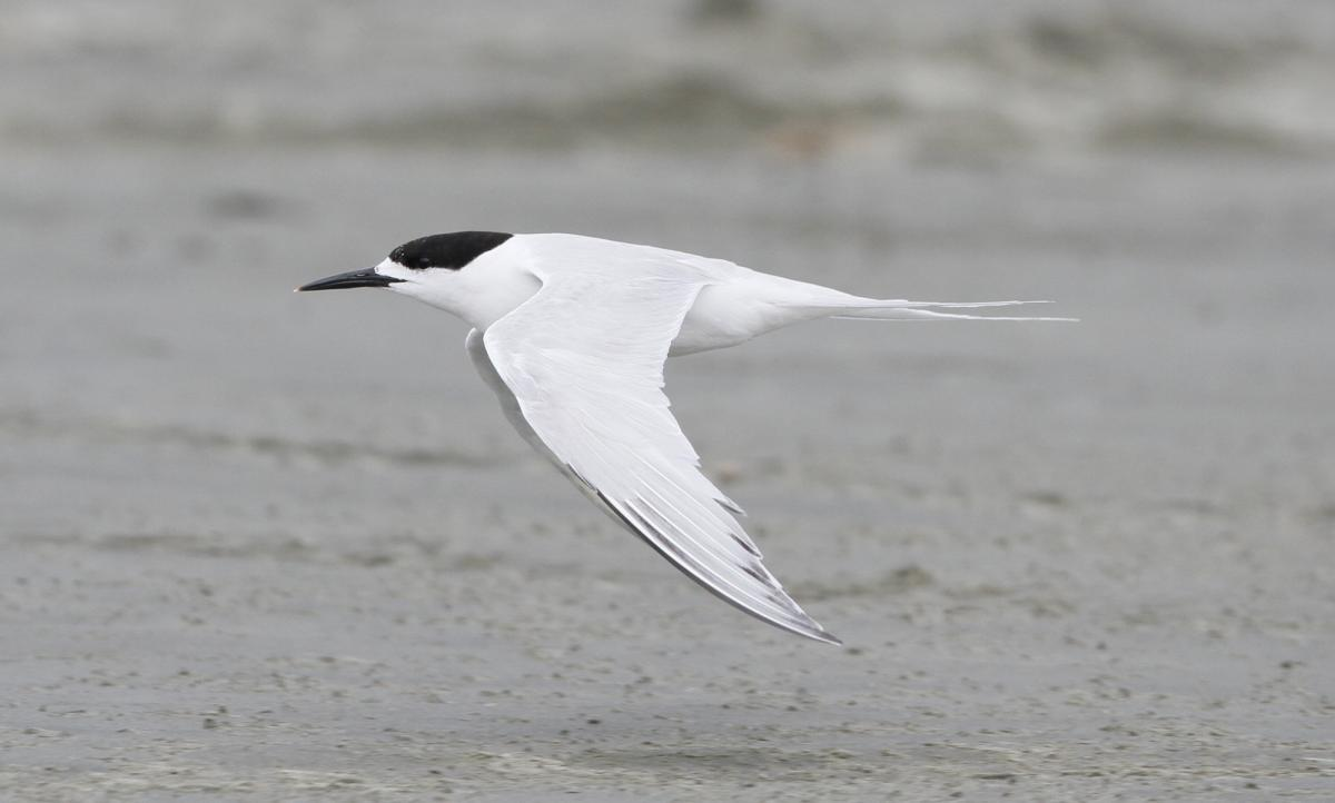 March · White-fronted tern. Adult in flight. Manawatu River estuary,  March 2012.