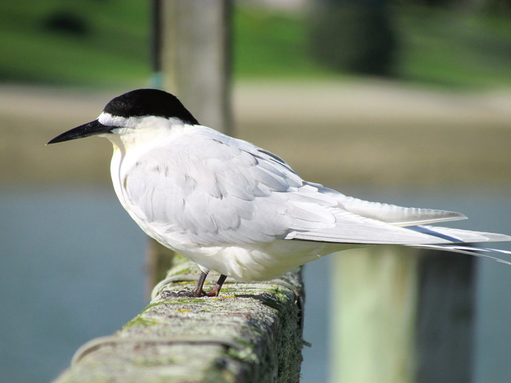 White-fronted tern. Adult. Pahi, August 2012. Image © Thomas