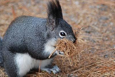 A tassel-eared squirrel