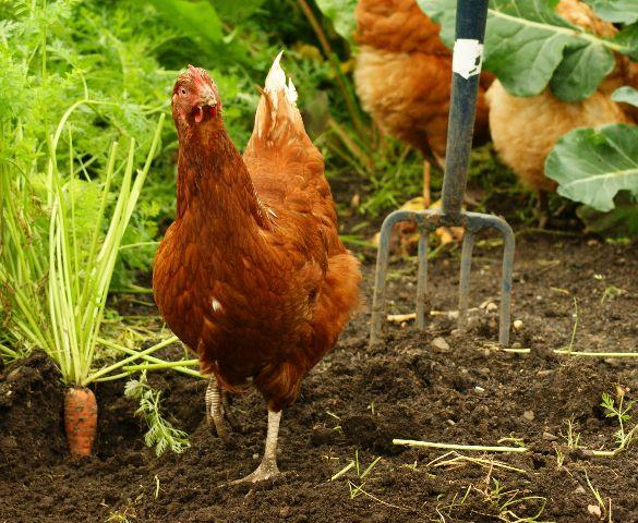A hen in a kailyard