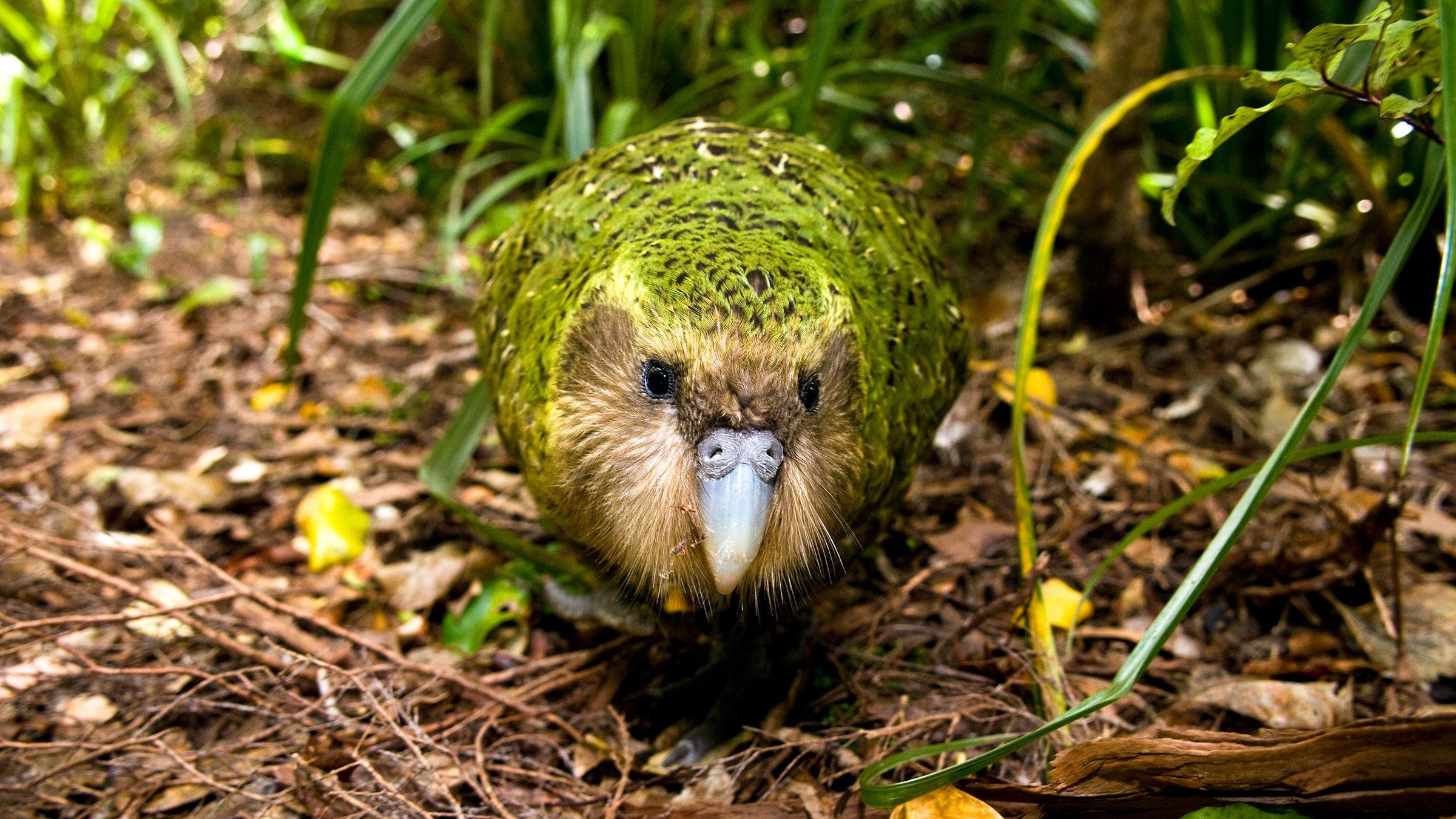 The Critically Endangered Kakapo Parrot Is Having One Fantastic Year |  Audubon