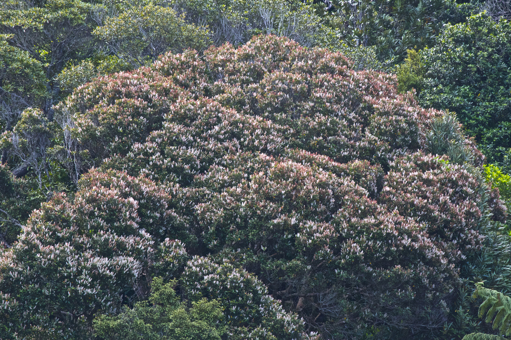 Kamahi - Weinmannia racemosa | by Steve Attwood