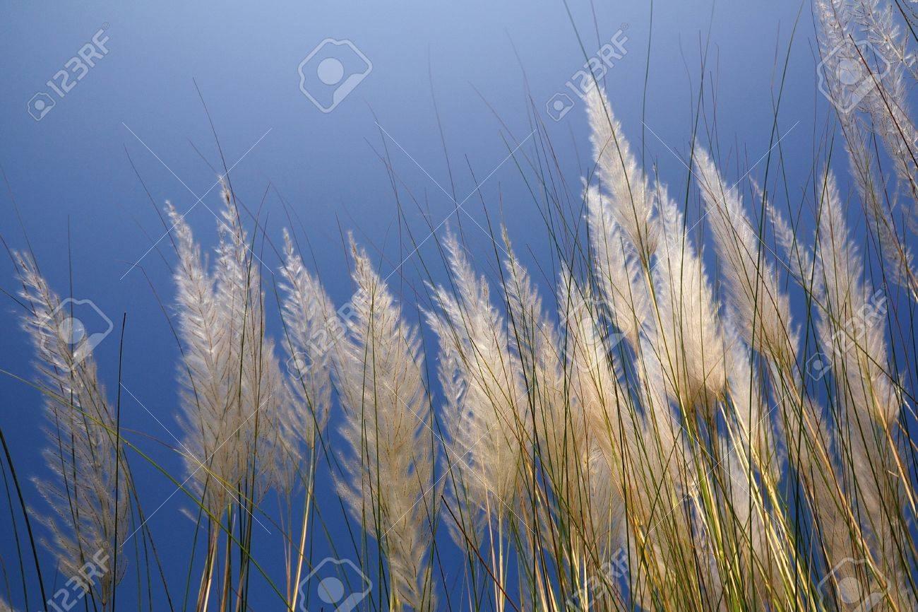 kans grass