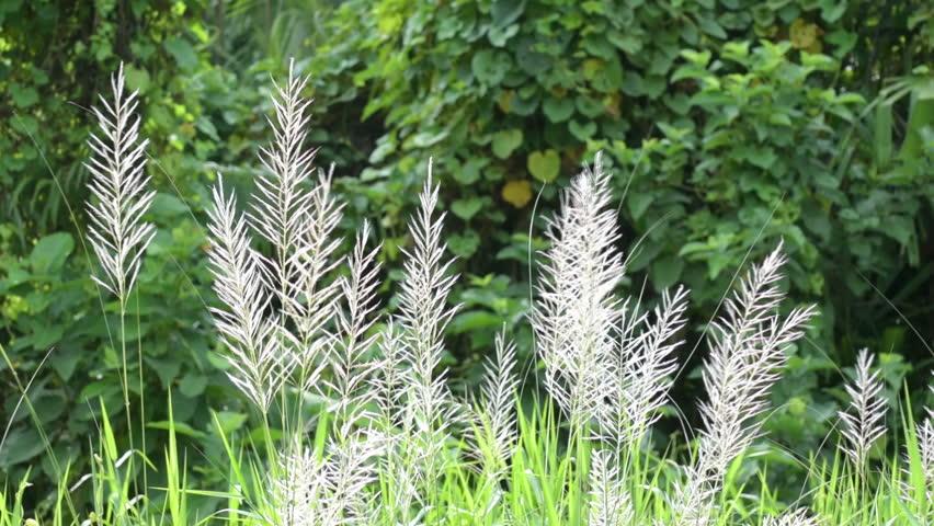 Kans Grass (saccharum Spontaneum), Swinging Stock Footage Video (100%  Royalty-free) 12233501   Shutterstock