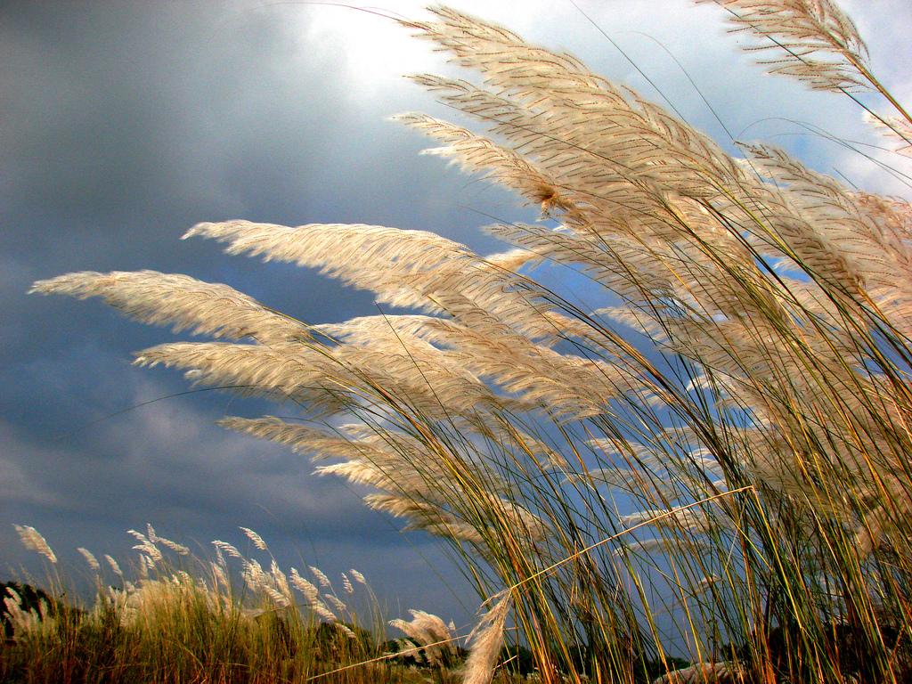 Kans grass (Saccharum spontaneum). [ Explored at # 4 on 16.8.13