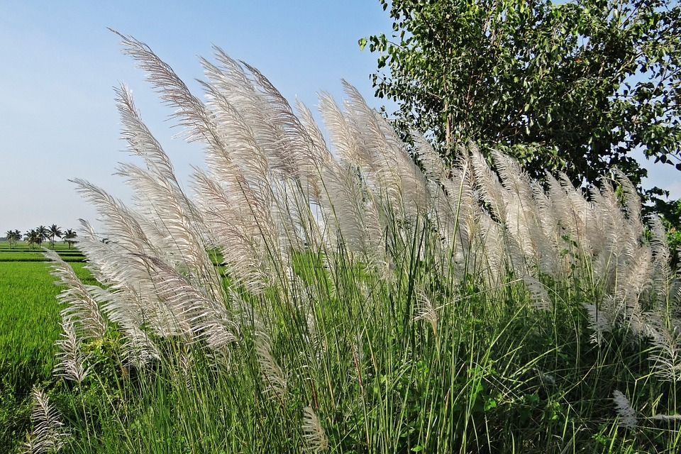 kans grass saccharum spontaneum wild sugarcane grass