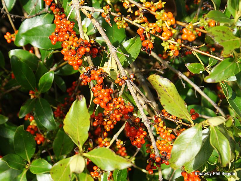 T.E.R:R.A.I.N - Taranaki Educational Resource: Research, Analysis and  Information Network - Coprosma robusta (Karamu)