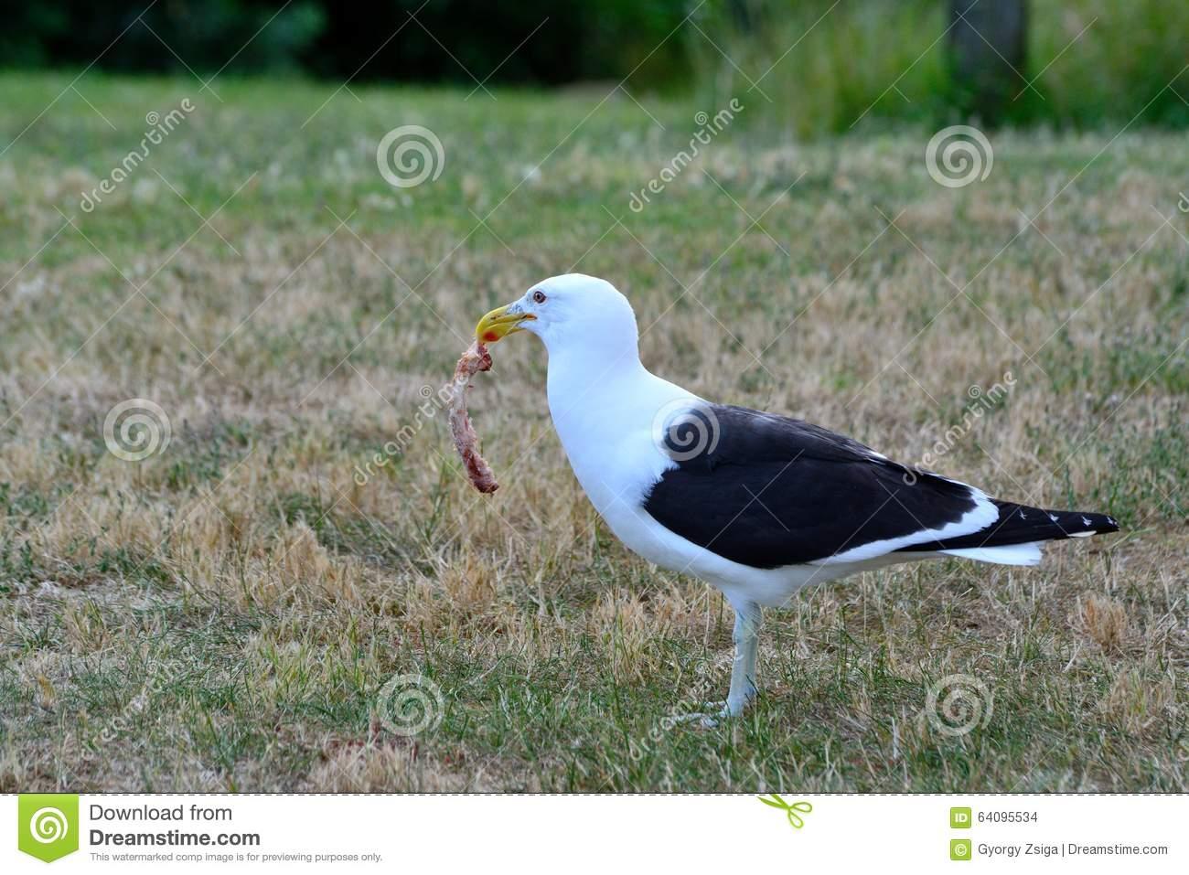 Ennegrezca la gaviota apoyada (Karoro) que come un pedazo de carne mientras  que se