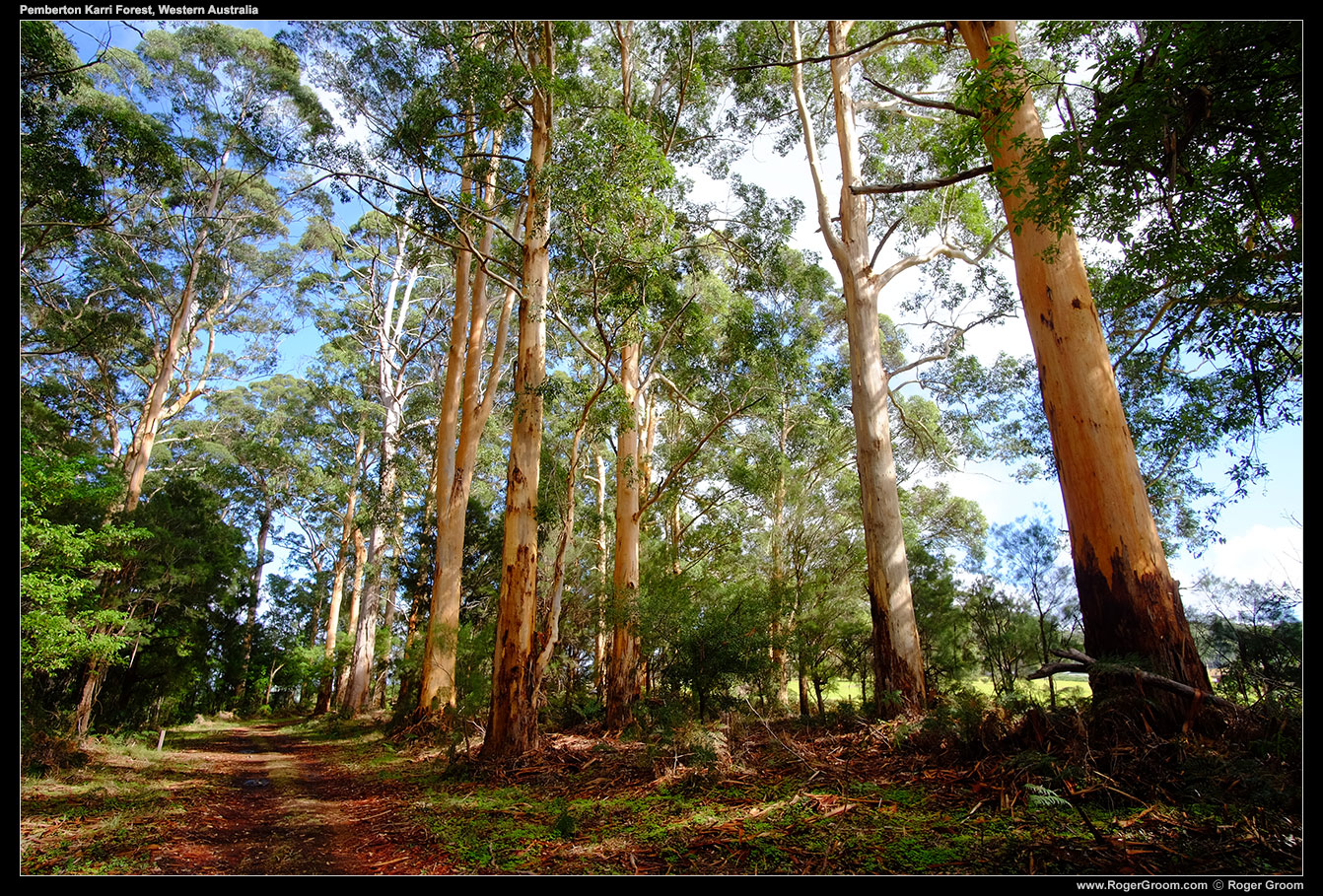 Karri Forest in Pemberton, Western Australia.