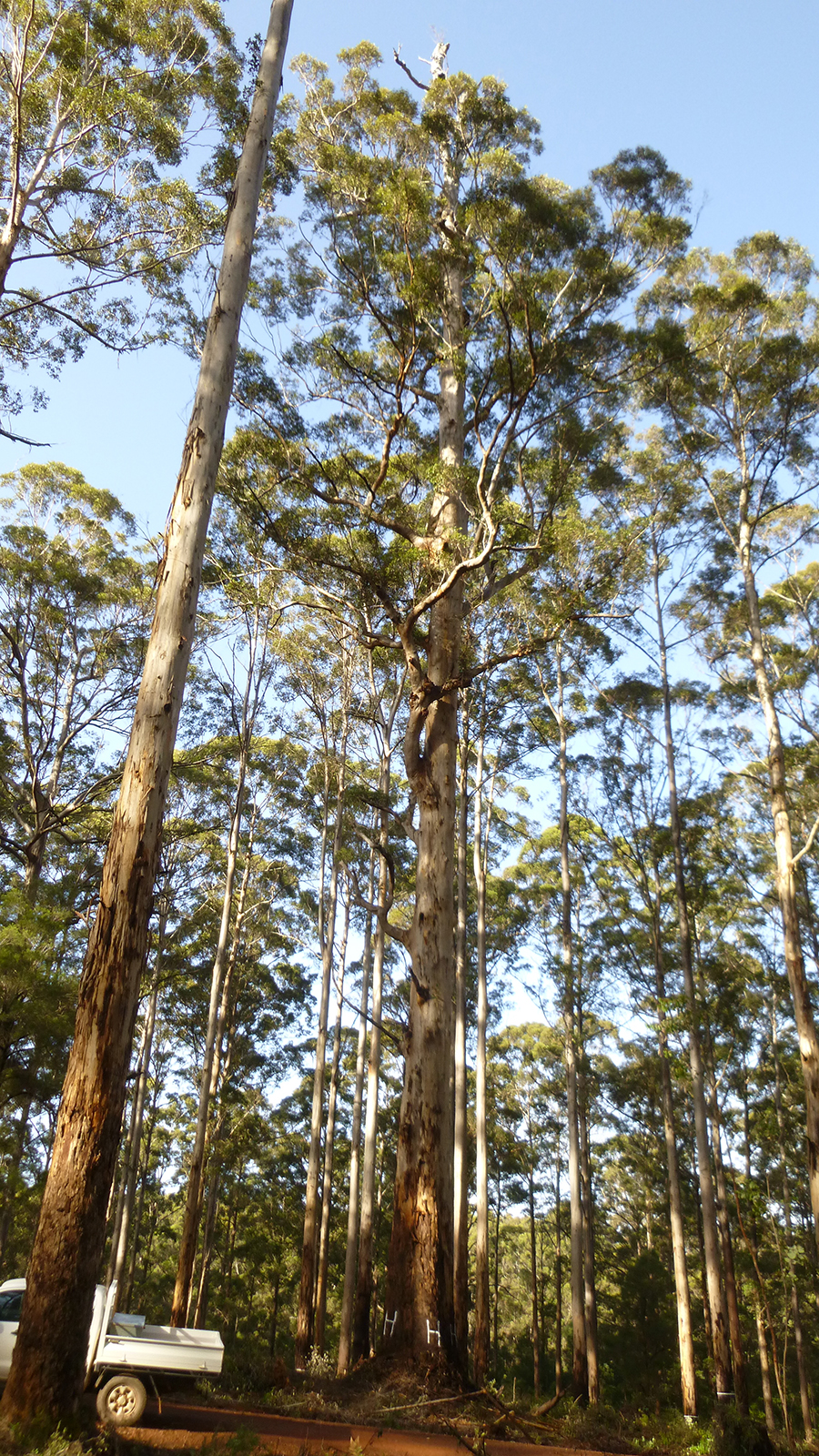 Karri forest regeneration