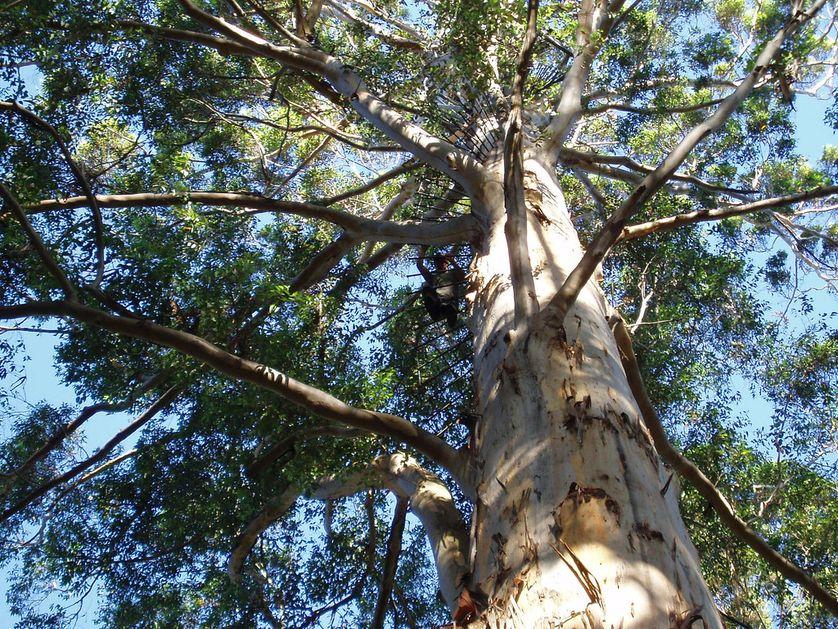 karri-tree