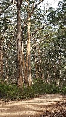 Karri trees in the Boranup Forest