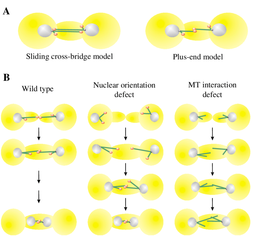 Karyogamy in budding yeast. (A) Models for nuclear congression in budding  yeast. (Left) Sliding cross-bridge model for nuclear congression.