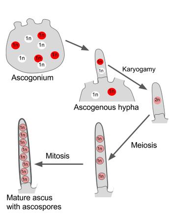 Difference Between Plasmogamy and Karyogamy -3