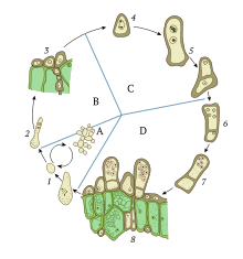 The life cycle of fungus Taphrina
