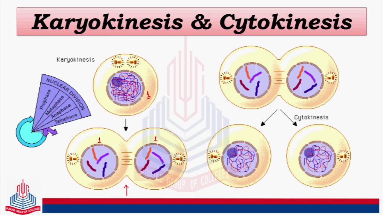 Biology Part II-Cell Cycle-Mitosis Karyokinesis & Cytokinesis By PGC