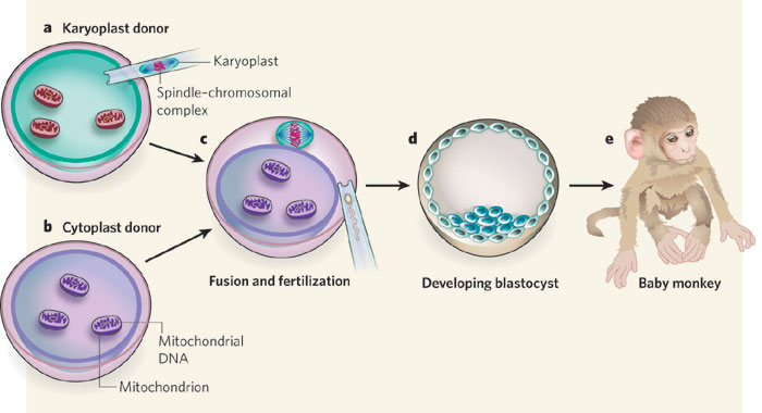 File:Swapping mitochondrial DNA mammalian oocytes.jpg