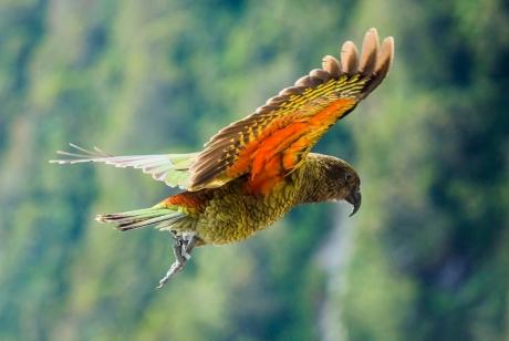 Flying kea