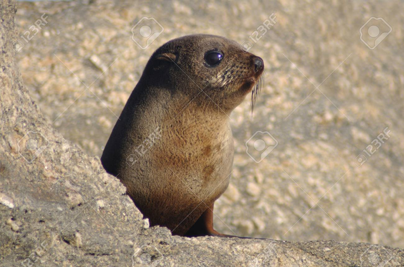Stock Photo - Young New Zealand fur seal, Arctocephalus forsteri (kekeno),  at Cape Foulwind, South Island, New Zealand