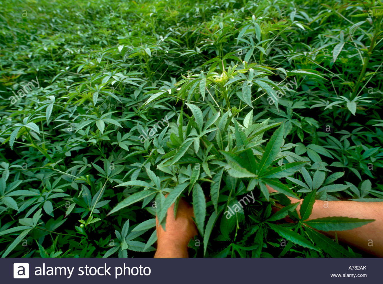 Close up of a person s hand picking Kenaf plants - Stock Image
