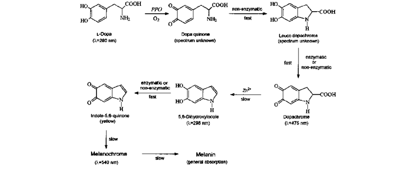 Reaction steps of the catalytic oxidation of l-dopa by PPO.