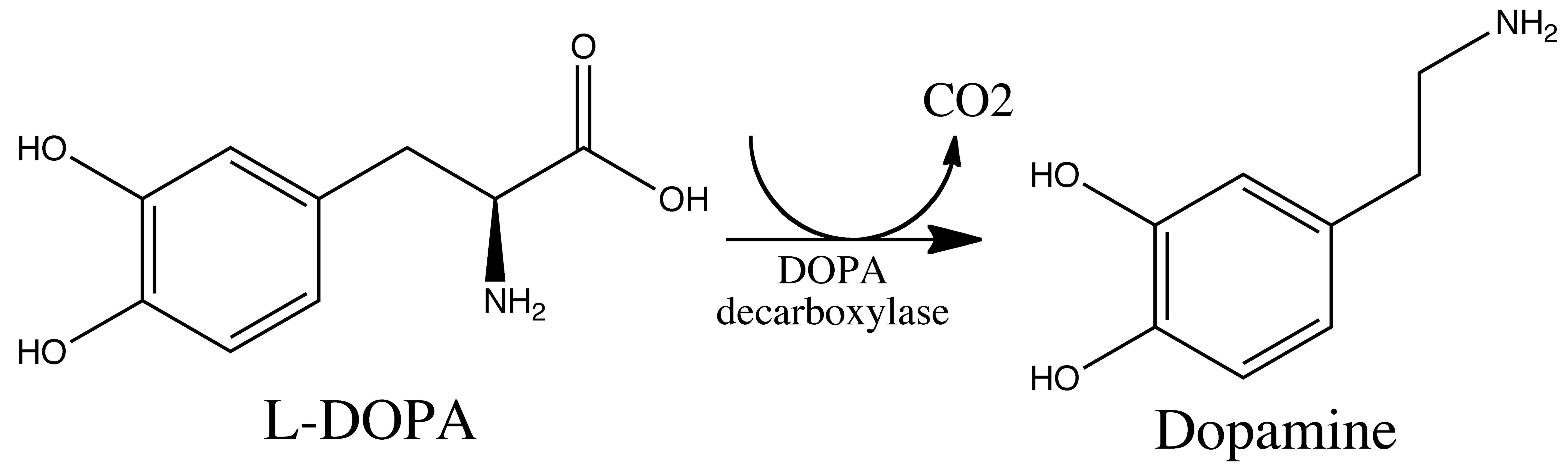 l-dopa metab