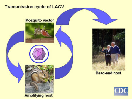 La Crosse virus transmission cycle illustrating passage of virus from  mosquito to small mammals which amplify
