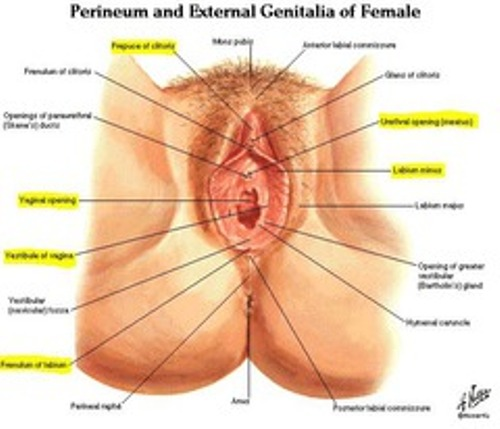 facts about labia majora