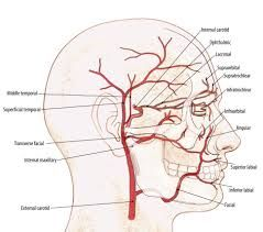 labial artery