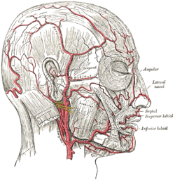 The arteries of the face and scalp. (Superior labial labeled at bottom  right.)