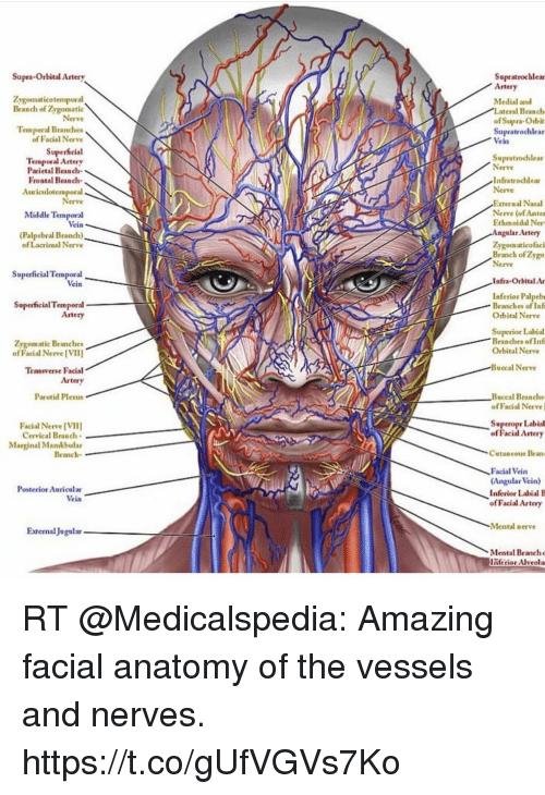 Memes, Amazing, and Superior: Supra-Orbital Artery Supratrochlear  Zygomaticotemporal Branch of Zygomatic
