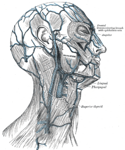 Veins of the head and neck. (Superior labial vein visible at center right.)