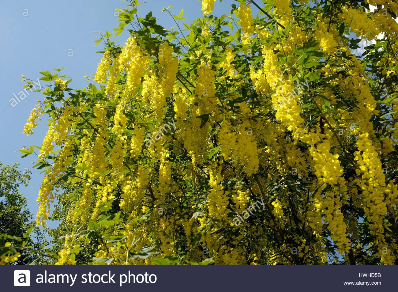 Common Laburnum, Laburnum anagyroides, laburnums, bean tree, gold fever,  yellow shrub, Laburnum anagyroides , Common Laburnum / (Laburnum anagyroides
