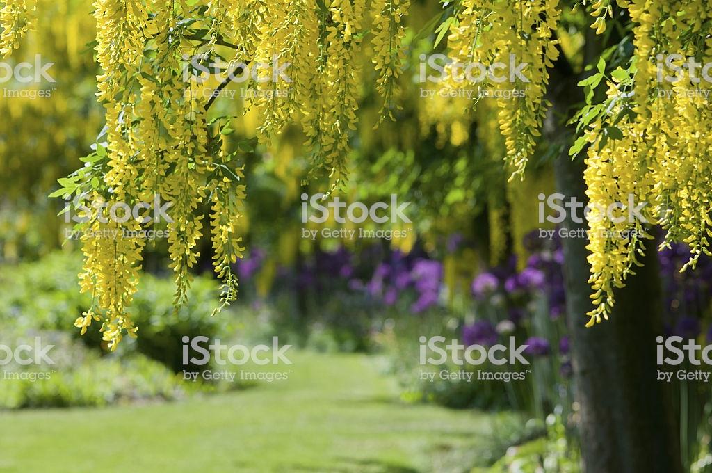 Jardín de primavera de Laburnums y Alliums foto de stock libre de derechos