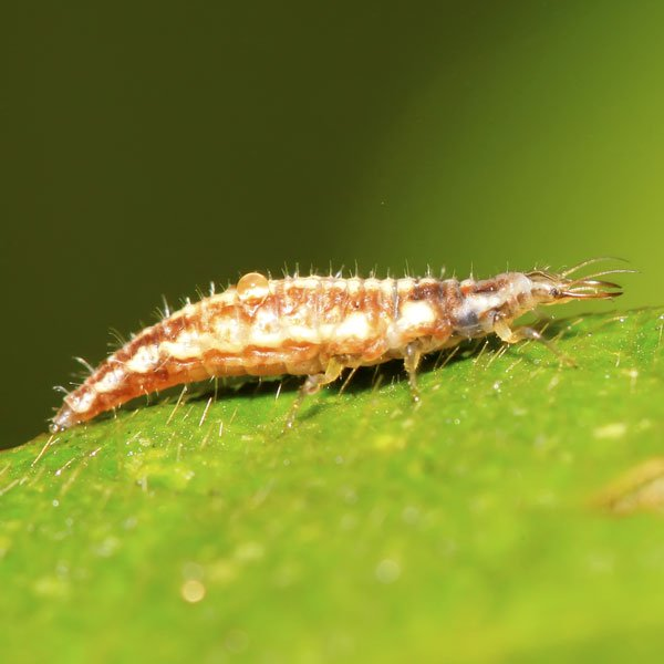 Lacewing Larva (Aphid Lion)