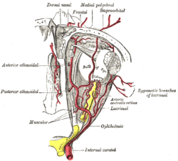 The ophthalmic artery and its branches. (Lacrimal artery visible at center  right.)