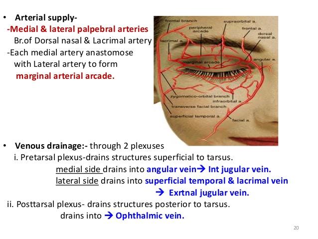 -Ensures the airtight closure of eyelids 19; 21.
