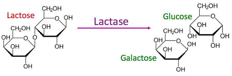 Lactase breaks down lactose into glucose and galactose
