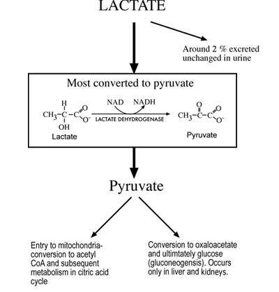 FIG 2: Principal mechanisms of lactate disposal