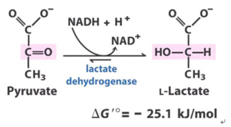 Lactate dehydrogenase converts pyruvate to L-Lactate.