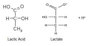 lactate