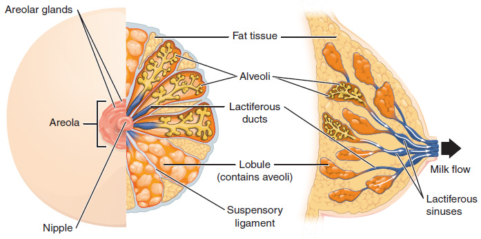 This figure shows the anatomy of the breast. The left panel shows the front  view