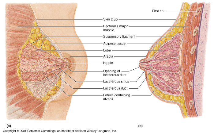 mammary glands - The accessory reproductive glands of the female which  produce and secrete colostrum (briefly) and milk to nourish the growing  infant;