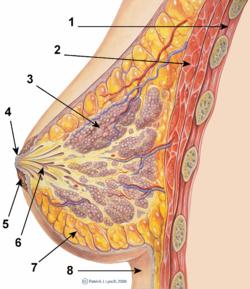 Breast anatomy normal scheme.png